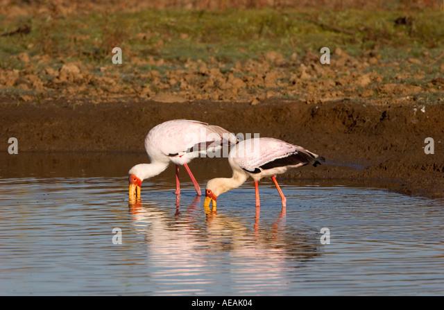 Yellow billed Stork - Stock Image