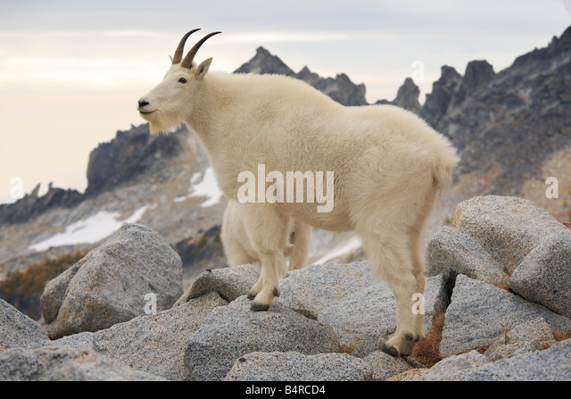 Mountain goat in the Enchantment Lakes Wilderness in Washington state - Stock Image
