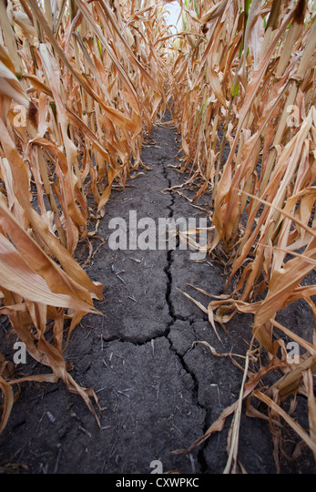 Crack in dry corn field - Stock Image