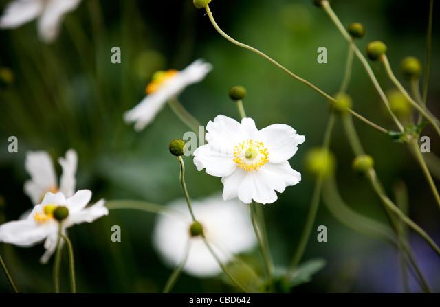 White Japanese anemone flowers - Stock Image