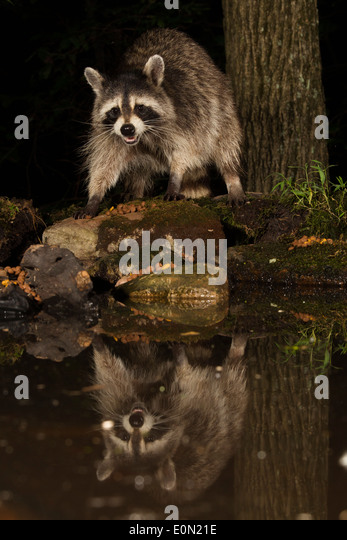 Raccoon feeding along a pond, Central Pennsylvania, United States (Procyon lotor) - Stock-Bilder