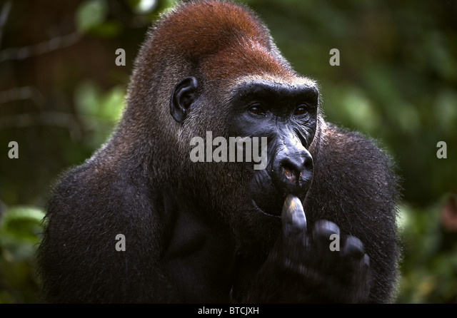 The male of a gorilla picks in a nose. A native habitat - Stock Image