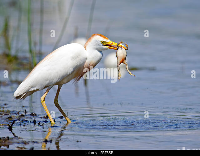 Cattle Egret with Large Frog - Stock Image