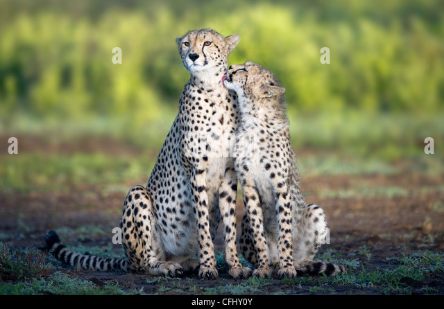 Adult female Cheetah with cub Ndutu, Ngorongoro, Tanzania - Stock-Bilder