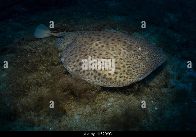 Marbled electric torpedo ray,Torpedo marmorata, from the Mediterranean Sea, Malta. - Stock Image