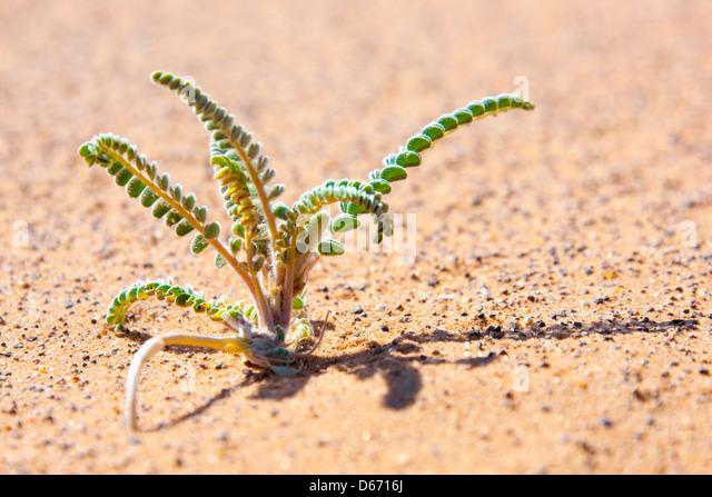 Small desert plant in sand. - Stock Image