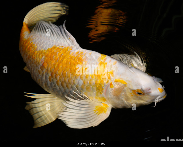 Butterfly Koi Stock Photos Butterfly Koi Stock Images