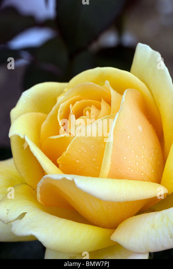 Roses, flowers, hobbies, gardening, green, nature - Stock Image