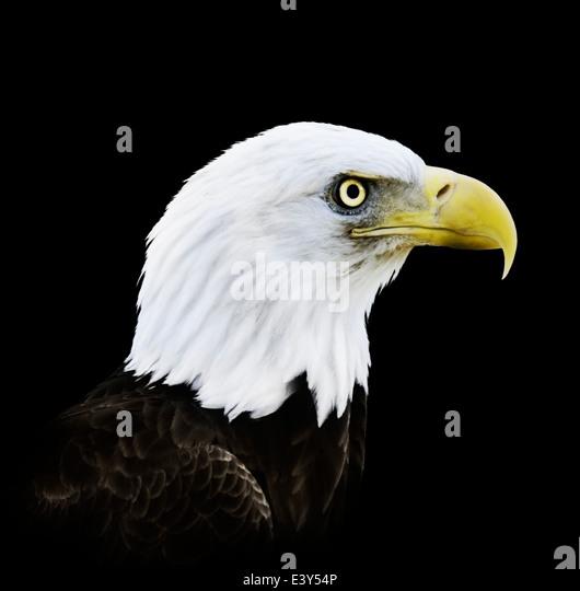 Portrait Of Bald Eagle On Black Background - Stock-Bilder