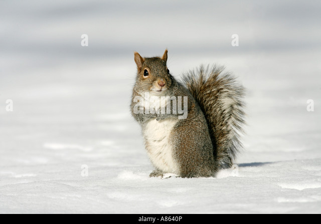 Gray Squirrel in Snow - Stock Image