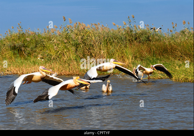 a group of pelicans in the Djoudj reserve, Senegal - Stock Image