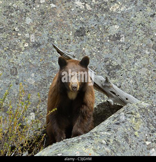 Cinnamon-colored Black Bear in denning area. - Stock-Bilder