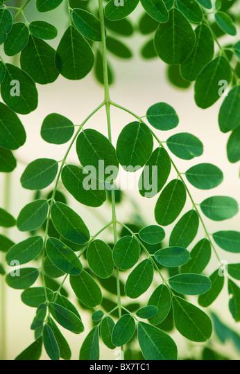 Moringa oleifera, Drumstick Tree leaves, India - Stock-Bilder