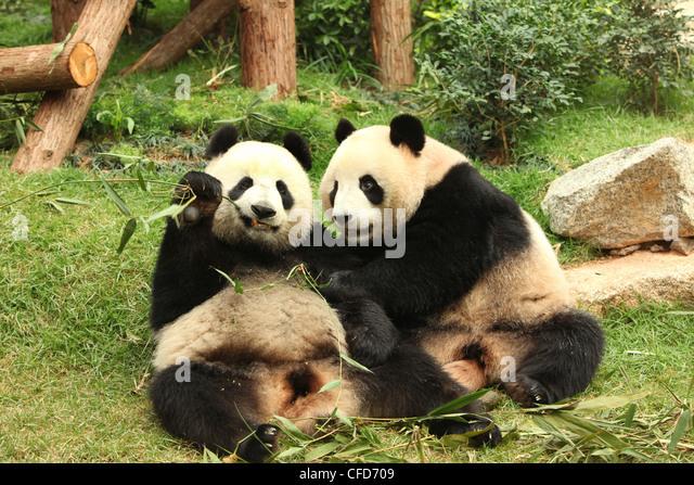 Giant Panda, Pandas, Macau Panda's Pavillion, Macau - Stock Image