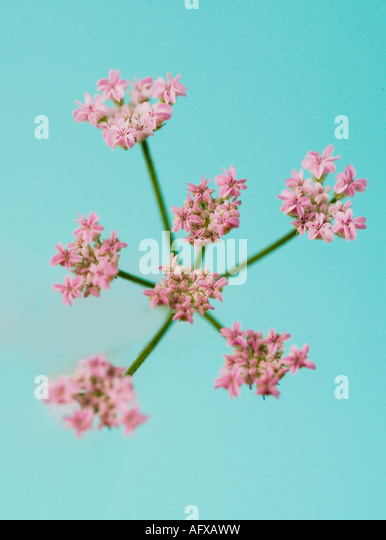 Pink flower - Stock Image