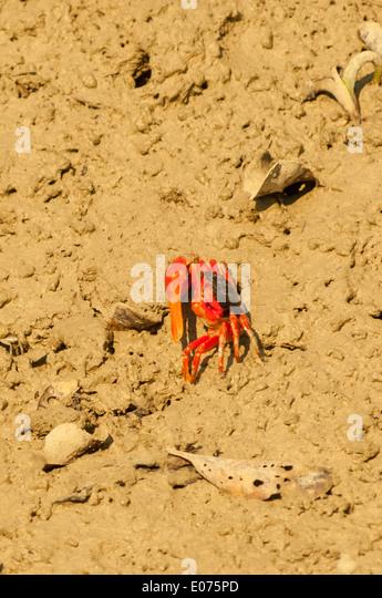Fiddler Crab at Raptor's Reach, the Kimberley, Western Australia, Australia - Stock Image