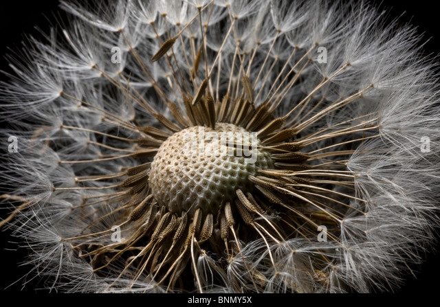 Macro view of a Dandilion flower gone to seed, Alaska - Stock Image