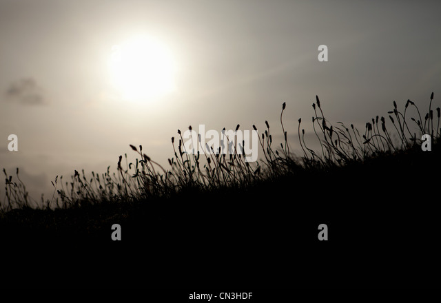 Backlit reeds - Stock Image