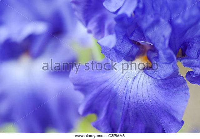 Bearded Iris 'Thunder Quay' flower - Stock Image