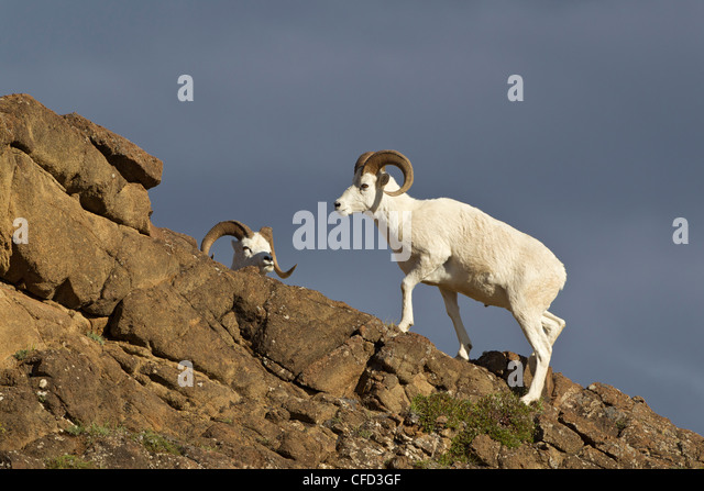 Dall sheep (Ovis dalli dalli), rams, Polychrome Pass, Denali National Park, Alaska, United States of America - Stock Image