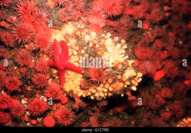 Starfish and anemones in a cold water rocky community; Massachusetts coast; USA. 1988 - Stock Image