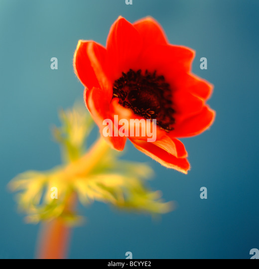 vibrant still life of an anemone coronaria poppy anemone fine art photography Jane Ann Butler Photography JABP301 - Stock Image