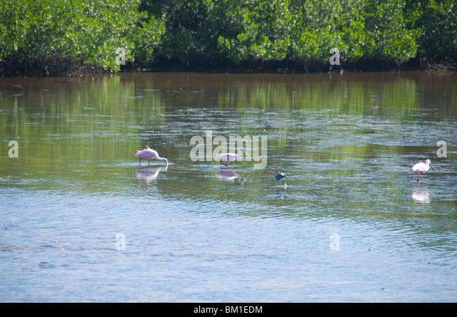 Roseate spoonbills, J.N. 'Ding' Darling Wildlife Reserve, Sanibel Island, Gulf Coast, Florida, United States - Stock-Bilder