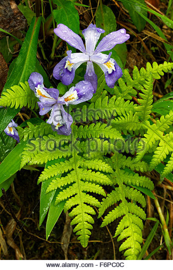 Crested Dwarf Iris, and Ferns, Great Smoky Mountains National Park - Stock Image