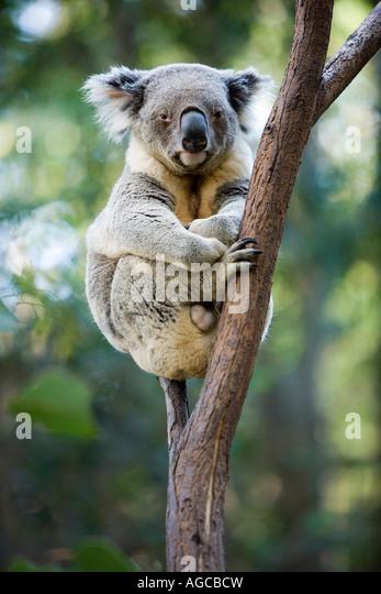 Koala, Queensland, Australia - Stock Image