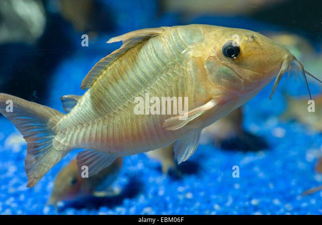 Hognosed catfish (Brochis multiradiatus), in aquarium - Stock Image