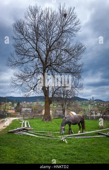 Grey horse. Beautiful grey horse on a summer pasture. horses an apple, hobbled horse, chain, ruins, gray, nature, - Stock Image