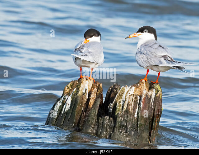 Forster's Terns - Stock Image