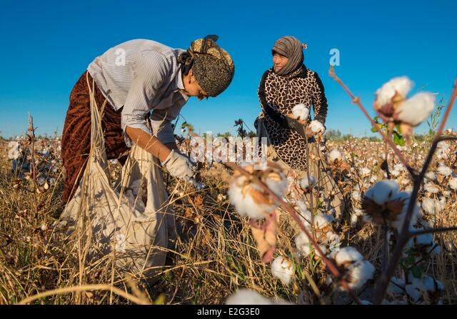 Uzbekistan Silk Road Khorezm Province women picking cotton (Gossypium Sp.) - Stock Image