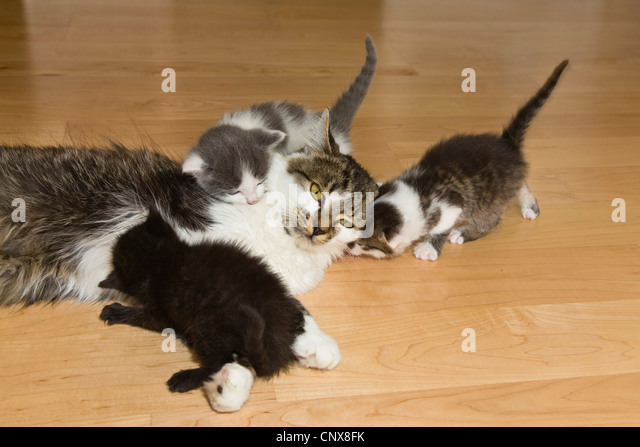 domestic cat, house cat (Felis silvestris f. catus), domestic cat with kitten on the floor - Stock Image