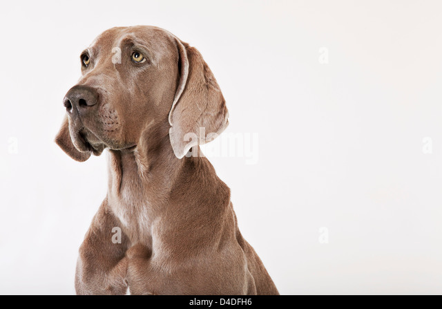 Close up of dog's face - Stock Image