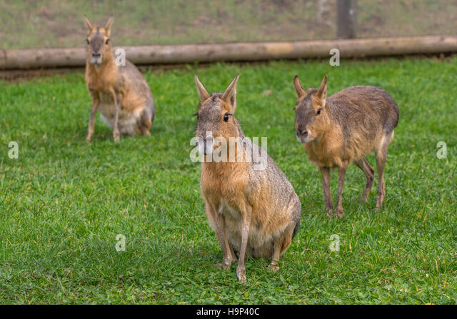 Group of Maras - Stock Image