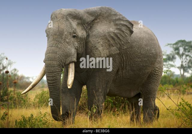 Elephant (Loxodonta Africana) at Ishasha in Queen Elizabeth National Park in Uganda. - Stock Image