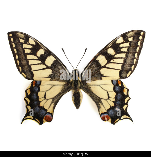 Swallowtail butterfly - Stock Image