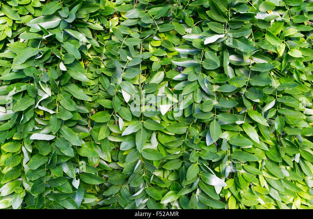 Leaves of weeping Japanese Pagoda Tree, Sophora japonica Pendula. - Stock Image