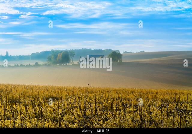 Farmhouse in landscape - field of Sunflower stalks - France - Stock Image