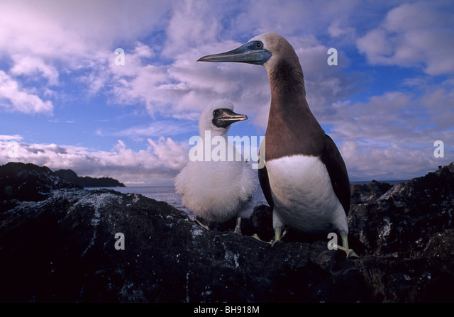 Brown Booby, Adult with Chick, Sula leucogaster, Cocos Island, Costa Rica - Stock-Bilder