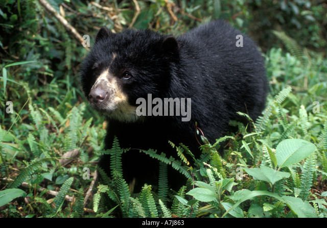 SPECTACLED BEAR (Tremarctos ornatus) La Planada Nature Reserve, Colombia South America Captive Female - Stock Image