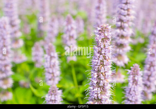 giant hyssop blue fortune - photo #24