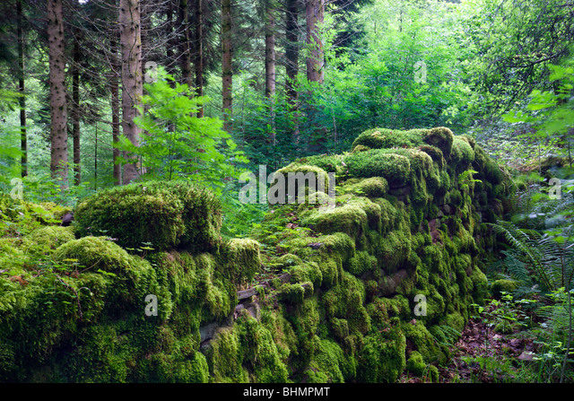 Moss covered remains of a dry stone wall in a woodland, Brecon Beacons National Park, Powys, Wales, UK. Summer (July) - Stock Image