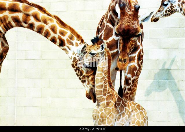 Baby giraffe with its family - Stock-Bilder