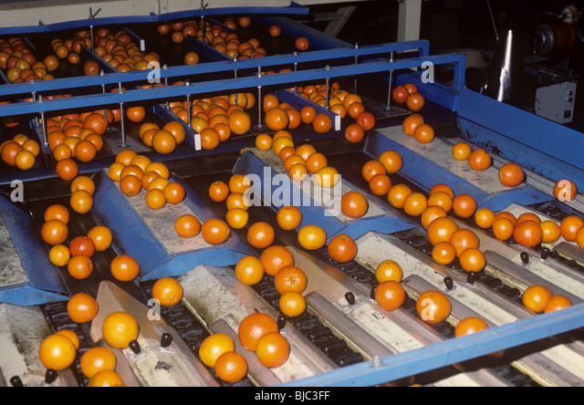 Oranges being washed sorted and graded after harvest in a packing house near Valencia, Spain - Stock Image
