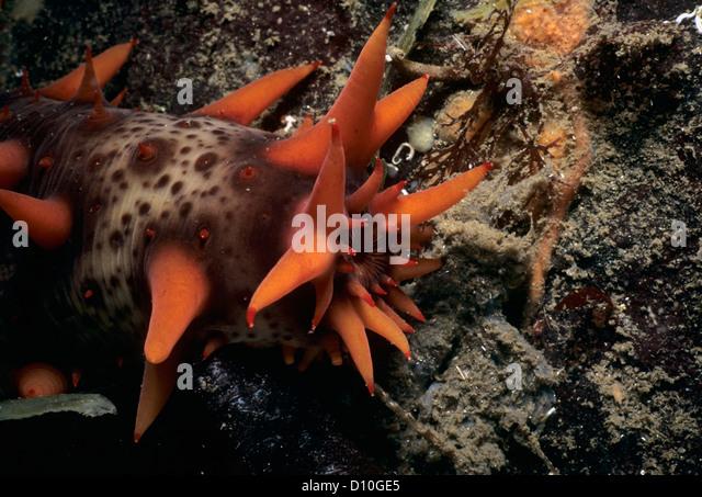 Mouth of a California Sea Cucumber (Parastichopus californicus). Vancouver Island, British Columbia, Canada, North - Stock Image