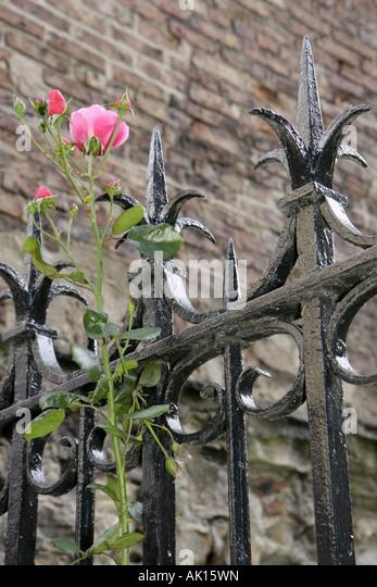 UK, England, Durham, Hatfield College Chapel, gate, rose, - Stock Image