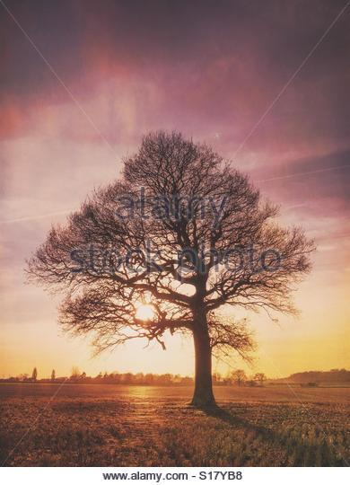 Tree in Winter with Sun - Stock Image