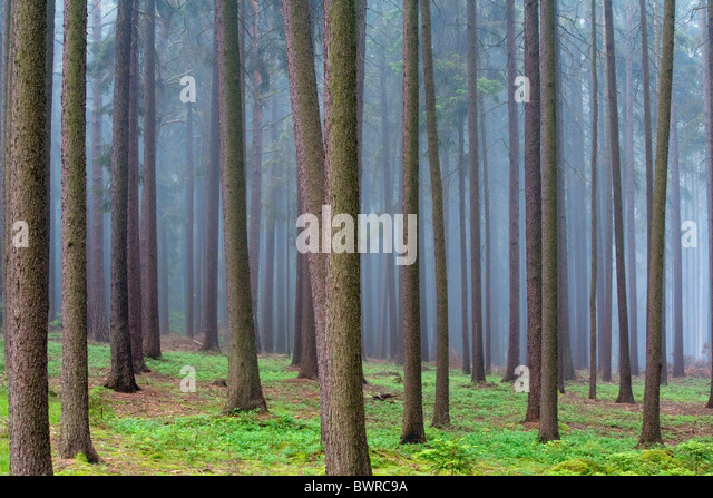 Background Bohemia Botany Conifer Coniferous Conifers Czech Republic Day Daytime Europe Exterior Fog Fores - Stock-Bilder